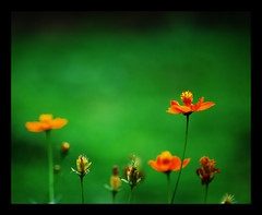 A D O N A I (maraculio) Tags: orange flower green art wednesday happy photography la 1st bokeh photowalk mesa pinoy adonai ecopark artartart hbw fcpp happybokehwednesday maraculio kristianong