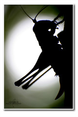 Sillhouette de saltamontes... (AnNamir c[_]) Tags: sunlight macro nature silhouette canon 350d bokeh grasshopper silueta siluet rl belalang reverselens bayang 516 photocamp qiblat luarbiasa annamir uludong puteracom lubuksemak getokubicom naturephotocamp fotografikrcom arahkiblat luarbiasaphotography istiwakaabah