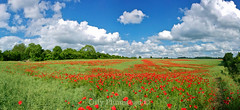 Panoramic Poppies (Olly Plumstead) Tags: blue red wild sky panorama cloud green field grass canon landscape kent horizon panoramic crop poppy poppies olly failed bromley plumstead chelsfield 450d