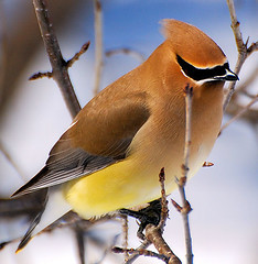 Cedar Waxwing up close & personal (Hal Trachtenberg) Tags: rock place you soe cedarwaxwing supershot anawesomeshot goldwildlife goldstaraward iamflickr