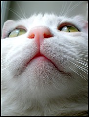Pisst!uppermost.. (sevgi_durmaz) Tags: pet cats beautiful beauty animal cat cuddly cutecats funnycats pamuk beautifulcats happycats lovelycats mywinners kissablecats diamondclassphotographer sweetcats citrit theperfectphotographer