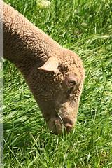 un mouton  Verngues (Dominique Lenoir) Tags: france photo foto sheep ears ohr ear provence fotografia mouton oreille oveja herbe herbivore carneiro fotografa oor schaf schaap orelha orecchio oreilles southfrance bouchesdurhne odo pecora korva 13116 re brouter ra verngues orelo dominiquelenoir
