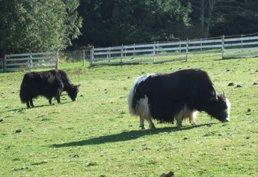 Salt Spring yaks