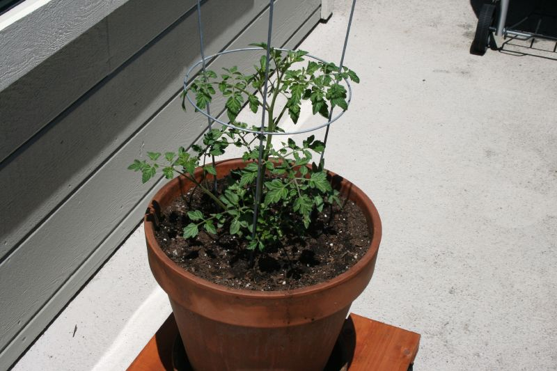 Tomato Plant May 18, 2008