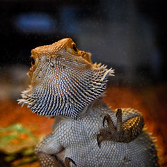Take Me Home (shiphome) Tags: beardeddragon petstore blackmountainnc veryfriendly wentfordogfood gotphotosofroscoe youcanpethishead andhecloseshiseyes