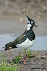 Northern Lapwing Vanellus vanellus (Nigel Blake, 12 MILLION...Yay! Many thanks!) Tags: lapwing northern vanellus
