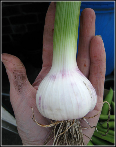 Garlic bulb copy