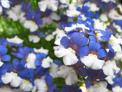 Flowers / () (TANAKA Juuyoh ()) Tags: blue flower high hires resolution hi  res   g7    flowerpicturesnolimits
