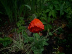 Flower (SolarVibe) Tags: plant flower wet dark sad poppy depressed