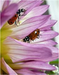(Lara's  Stuff) Tags: flower nature ladybird ladybugs mygarden naturesfinest