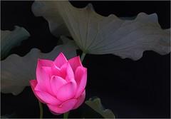 Lotus Flower IMG_5198 (Bahman Farzad) Tags: china red india inspiration flower macro yoga tattoo thailand truth cambodia peace lotus blossom relaxing calming peaceful teacher sacred meditation therapy budha elegant inspirational spiritual simple hindu soulful heavenly buda tatto peacefulness devine lotusflower therapist lotusflowers lotuspetal lotuspetals soulfulflower lotusflowerpetals lotusflowerpetal