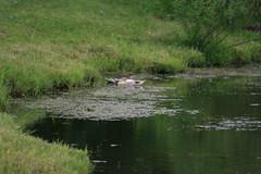 IMG_2415 (Blackavar Lion) Tags: summer swim duck pond ducks indiana ducklings waterfowl fortwayne lazzy canonrebelxti eendcanardentepato 2be2176f59cfac7c3f99b44a73b29c9b