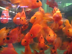 many (maartje jaquet) Tags: nyc fish animal aquarium video gallery goldfish galerie exhibition explore expositie spuistraat videoshow explored oneminute peterklashorst july2008 popupshow october2012 30oneminutes newyorkamsterdampopupshow peterklashorstcashandcarrygallery