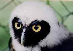 Owl eyes. (DigitalTribes) Tags: world travel film 35mm ecuador owl 1991 animalplanet dt ec digitaltribes markoneil