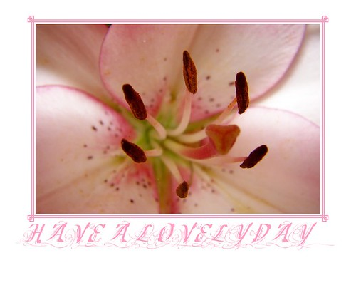 Pink Day Lily