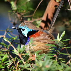 Variegated Fairy-wren ({Rory}) Tags: birds wildlife sydney australia nsw variegated bundeena royalnationalpark bonnievale fairywren maluruslamberti