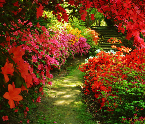 Azaleas at Valley Gardens / Anguskirk