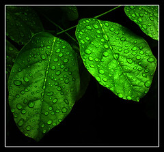 Karachi in Rain (TariqRaja) Tags: blue pakistan green nature leaves rain droplets natural fresh spray rainy dew ribbon karachi onblack supershot theunforgettablepictures tariqraja alfaseen reflectyourworld
