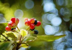 bokeh berries