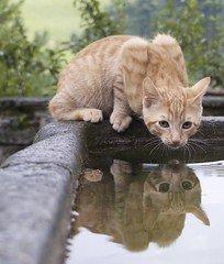 Reflection (cat, Katze) (Urs Wachter) Tags: red pets reflection cute rot cane cat schweiz switzerland kitten feline chat pretty view suisse tabby kitty perro gato kitties katze simply puss gatto 1000 kats overload ktzchen chaton urs wachter gattini blueribbonwinner httli mywinners abigfave specialpicture cat1000 oberkulm oreengeness kittyschoice flickrdiamond pet500 theunforgettablepictures platinumheartawards unlimitedphotos damniwishidtakenthat llovemypics 100commentgroup catnipaddicts sonyalphadslra350 mirrorser reflectsobsessions awardreflections