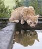 Reflection (cat, Katze)