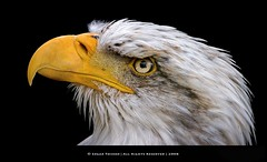 Portrait of the Sea Eagle (Edgar Thissen) Tags: sea bird nature birds zoo bravo searchthebest belgium eagle birdofprey safaripark aywaille edgarthissen mondesauvage specanimal 38532 animalkingdomelite avianexcellence bratanesque