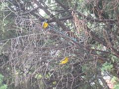 Mating Olive-backed Sunbirds (sff_asn) Tags: sunbird