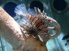 Lionfish (IslesPunkFan) Tags: fish ny newyork aquarium longisland lionfish soe naturesfinest supershot atlantismarineworld shieldofexcellence platinumphoto anawesomeshot flickrestrellas