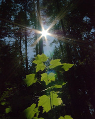 lighting the forest (SusanCK) Tags: sky tree forest leaf flare susancksphoto