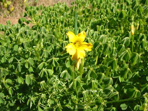 oca flower