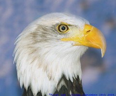 "The ""Bald"" and the beautiful.... (law_keven) Tags: england bird birds kent eagle baldeagle feathers raptor haliaeetusleucocephalus avian birdofprey feathery featheryfriday eagleheightswildlifepark"