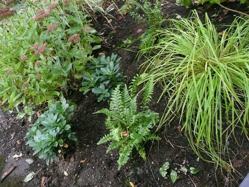 New ferns and euphorbias in the front yard