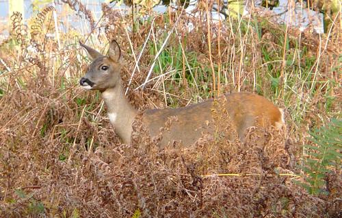 Deer in bracken