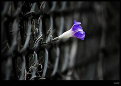 Hope (swaheel) Tags: india flower digital canon fence eos rebel hope freedom kiss zoom bokeh bangalore oppression kerala revolution barrier desaturated independence karnataka tgif salvation efs revolt lalbagh xsi toomanytags x2 breakfree naturesfinest thankgoditsfriday bengaluru 450d 55250 swaheel 55250is
