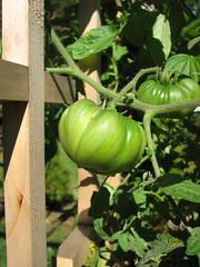 Green Tomato (kmzitnick) Tags: green garden tomato 2008 lattice hierloom