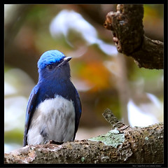 Blue-and-white Flycatcher (E.HOBA) Tags: bird 300mm blueandwhiteflycatcher cyanoptilacyanomelana   afsvr300mmf28gifed