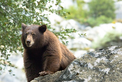 Hetch Hetchy Black Bear (Amicus Telemarkorum) Tags: california bear wild black animal animals rock fauna fur big furry wildlife large yosemite yosemitenationalpark sierras ursa blackbear hetchhetchy jeffreyrueppelphotography yosemitebearproject