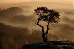 Lonesome pine (Stevacek) Tags: mist tree misty fog pine landscape ruins foggy bohemia hdr tamron90mm d300 ceskyraj 151108 drabskesvetnicky