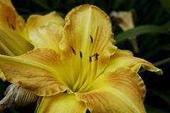 lelie (jennifer eeuwijk) Tags: park flower fleur garden flora sweden tuin botanicalgarden bloemen bloem zweden vakantienoorwegen2008 botanischtuin