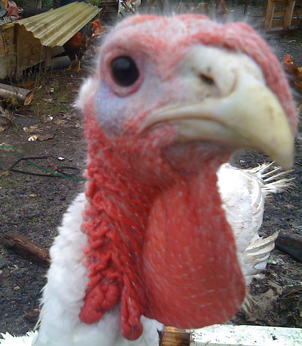Turkey Closeup