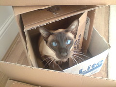 Leui Ling playing in boxes !! (annelibabe) Tags: blue boy pet playing male love beautiful japan cat eyes cross tail chinese siamese hide seal lad don meow boxes eyed seek oriental siam ling monty pedigree neutered kinked snowseal leui