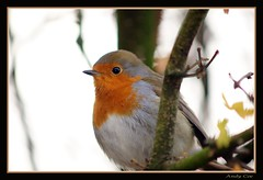 robin (Andy Coe) Tags: red colour bird nature robin breast colourful rotherham southyorkshire butterflyhouse northanston