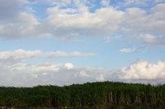 朝のサトウキビ畑