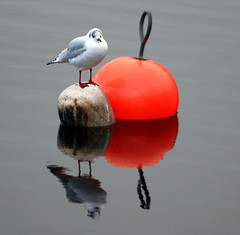 seagull and a red buoy (bob the lomond) Tags: winter red scotland seagull gull balloch lochlomond buoyant bobthelomond