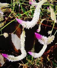 Wild beauty (asis k. chatt) Tags: flower nature naturephotography saveearth naturalharmony flowerpicturesnolimits flowerwatcher naturewatcher flowersmakeeveryonehappy flowersarefabulous