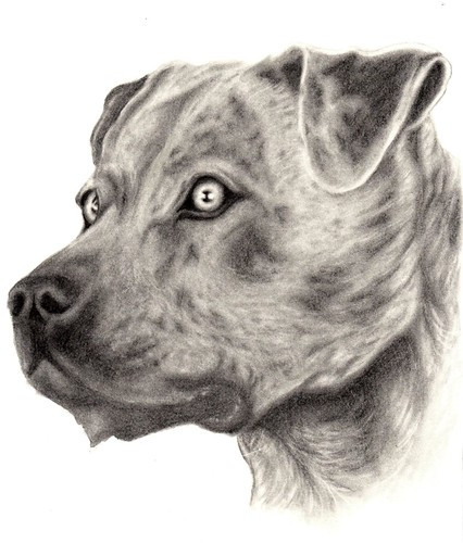 Pitbull dog drawings in pencil - photo#16