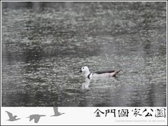 棉鴨(周民雄先生提供).jpg