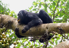 Chimpanzee 2/3 Kanyiyo Pabidi Sanctuary, Uganda