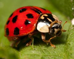 Harlequin Ladybird ((James Clay) Boom-Stick) Tags: macro geotagged 21 unitedkingdom wildlife beetle gb ladybird beetles geotag nottinghamshire geotagging coccinellidae kenko harmoniaaxyridis extensiontubes harlequinladybird bartoninfabis macro21 branshillwood