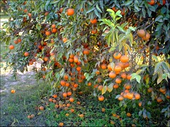 Orange Tree (M.Rizwan Rafique) Tags: pakistan orange village pakistanvillage
